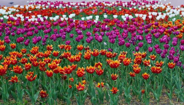 Около 300 тыс тюльпанов зацветут на клумбах Подольска весной 2020 года