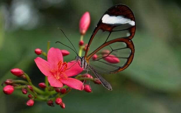 Чем питается бабочка Грета Ото