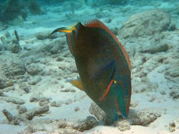 Рыба-попугай: Спит в густом скафандре из слизи, её клюв крошит кораллы, а выделения создают песок