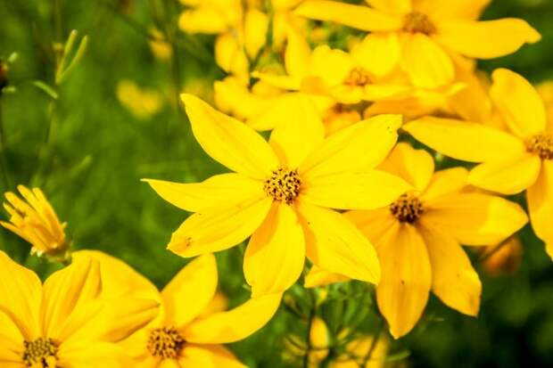 Coreopsis vertycilata yellow flower closeup