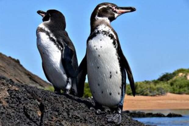 На Галапагосских островах наблюдается рекордный рост пингвинов и нелетающих бакланов
