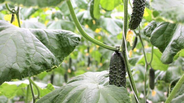 Крымские аграрии с начала 2021 года вырастили около 70 тонн огурцов закрытого грунта
