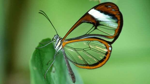 Стеклянная бабочка ядовита