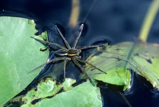 Паук-рыбак: необычный паук, который умеет ловить рыбу и нырять