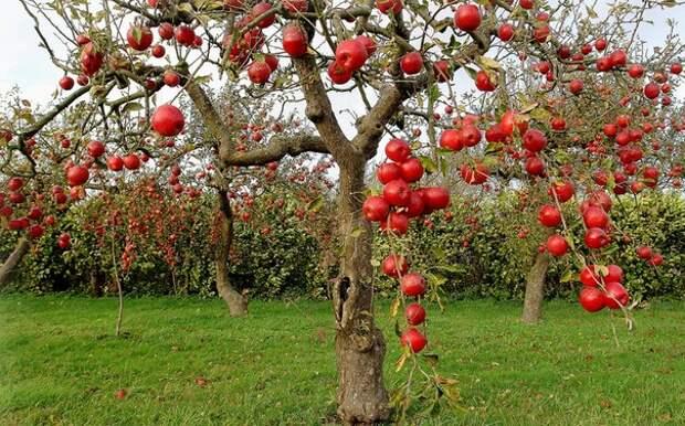 Расцветали яблони на груше... Удачные и сомнительные прививки
