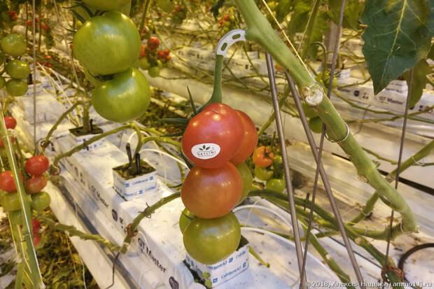Вот как выращивают помидоры и огурцы без грунта