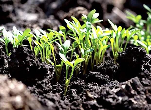 После того как выглянулись ростки - выставляем их на солнечный или искусственный  свет