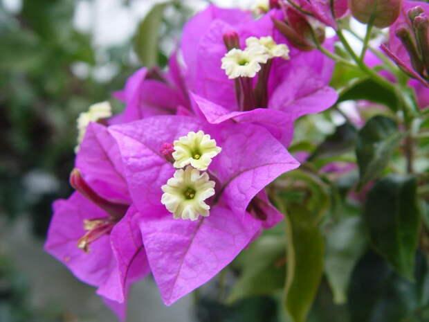 Цветет 9 месяцев в году! Бугенвиллею теперь можно вырастить и дома