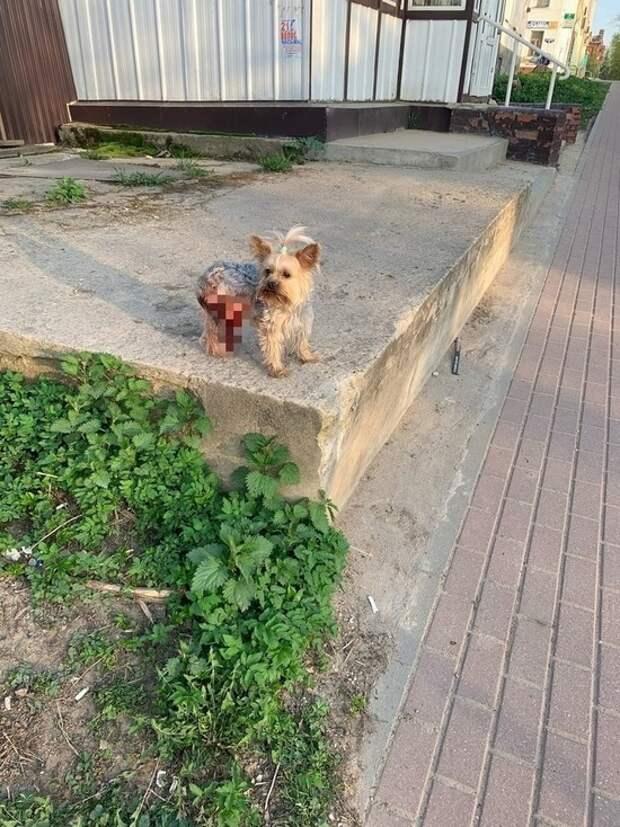 В Тверской области водитель наехал на маленького терьера
