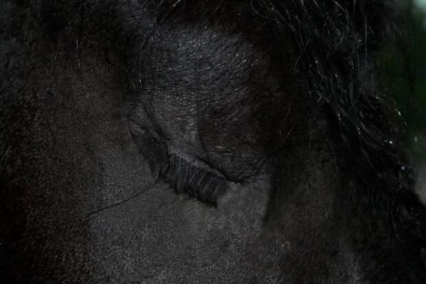 Фризский жеребец Фредерик Великий, чья красота покорила интернет