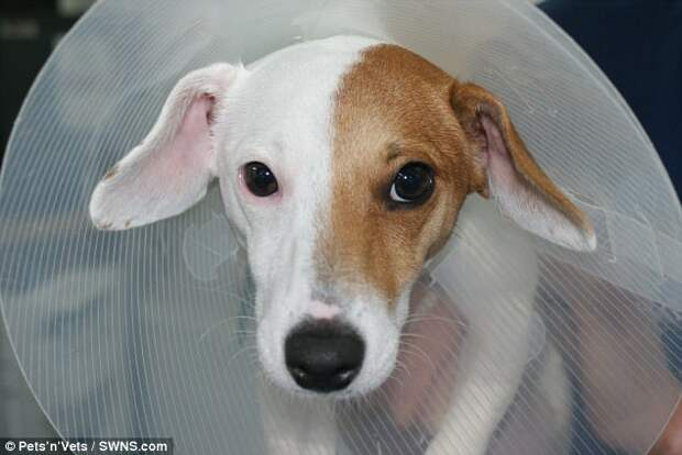 Британские хирурги прооперировали собаку-гермафродита
