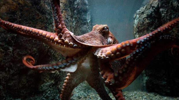 Истории нападения осьминогов на людей