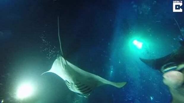Подводный танец огромных скатов