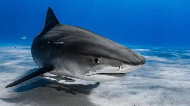 3. Тигровые акулы