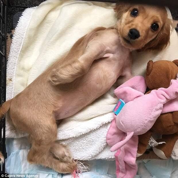 Собаке была проведена операция, но она не помогла  инвалид, коляска, собака