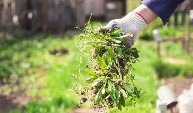 Можно ли использовать уксус и пищевую соду для уничтожения сорняков?