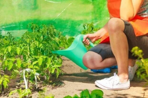 полив рассады помидоров в теплице
