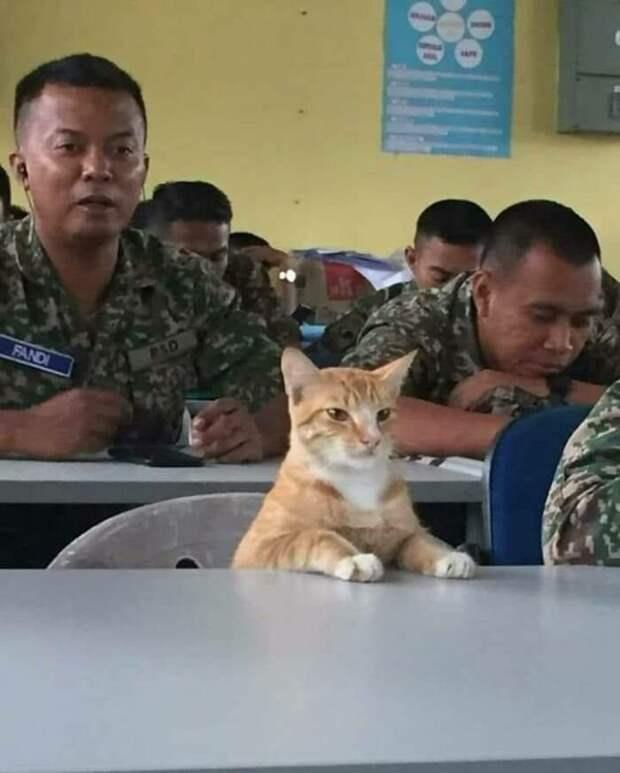 Сержант Мяу животные, коты, смешные картинки, юмор