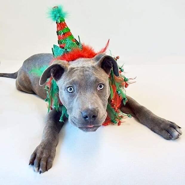 Пора наряжаться! Рождественские костюмчики на этих собак надели не просто так…