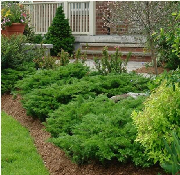 Хвойные растения для сада: выбираем самые неприхотливые культуры (65 фото)