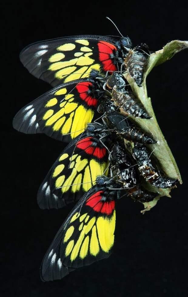 Бабочки не могут летать во время землетрясения бабочки, интересное, красота, насекомые