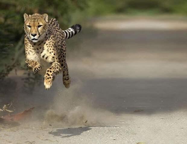 Гепард: между кошкой и собакой гепард, Семейство кошачьих, Животные, Природа, фотография, длиннопост