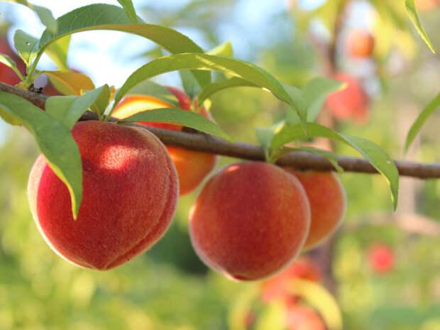 Как выращивать персики: советы садоводу