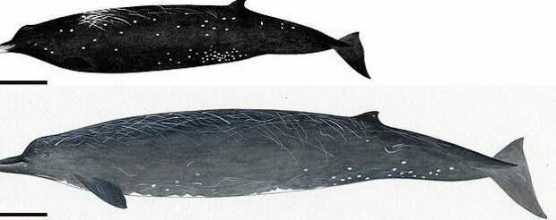 Японцы открыли новый вид китов