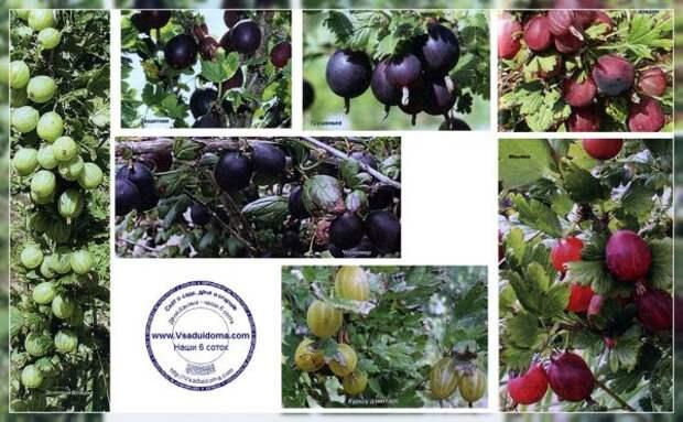 Подборка различных сортов крыжовника, которые можно отличить по форме и цвету ягод