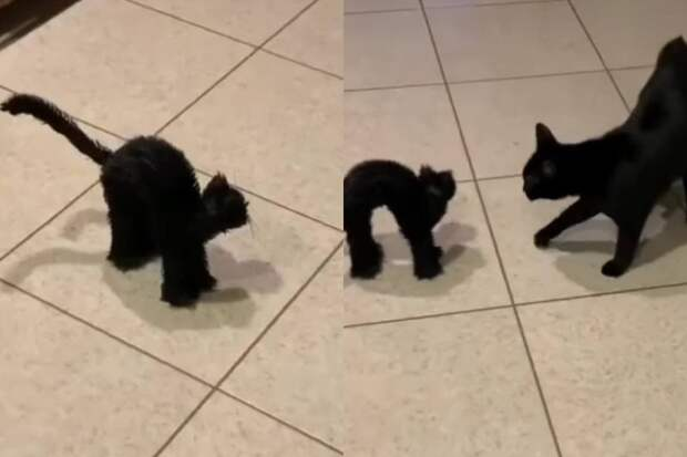 Смешная реакция кошки на свою игрушечную копию заставила Сеть хохотать
