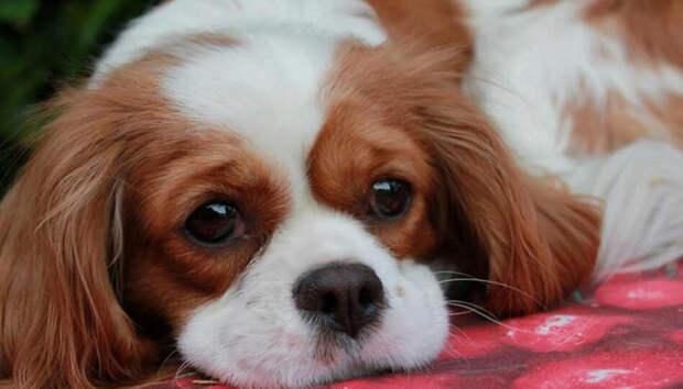 Жительница Петрозаводска покупала собаку и лишилась сбережений