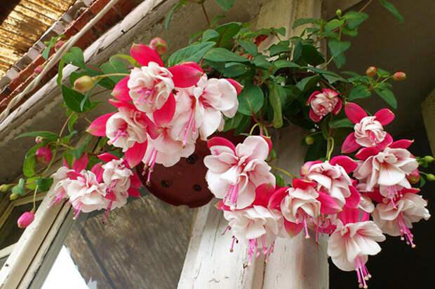 цветы для северного балкона