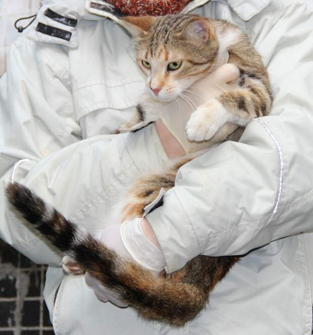 Эта яркая кошечка уникального окраса очень ласковая, доверчивая и благодарная. Всё, что нужно для любящего хозяина!