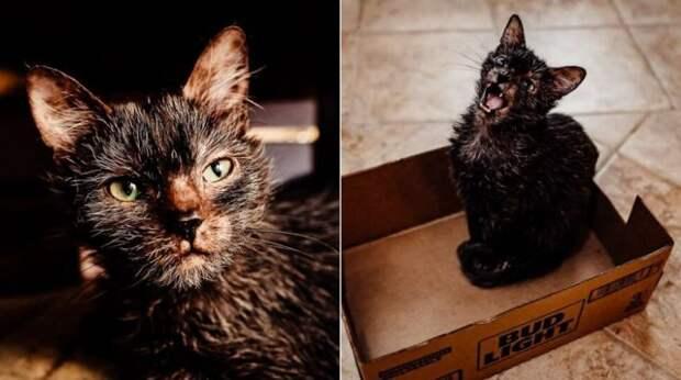 Девушка думала, что ее котенок болен. Оказалось, это дорогущий кот-оборотень редкой породы