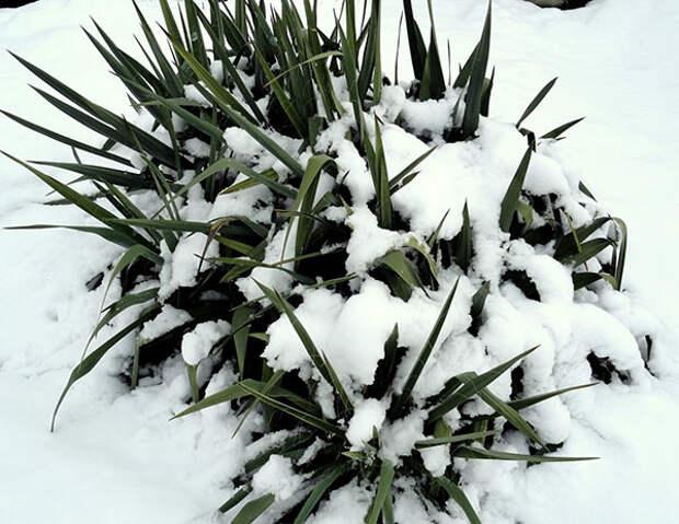 В теплых регионах юкку на зиму не укрывают