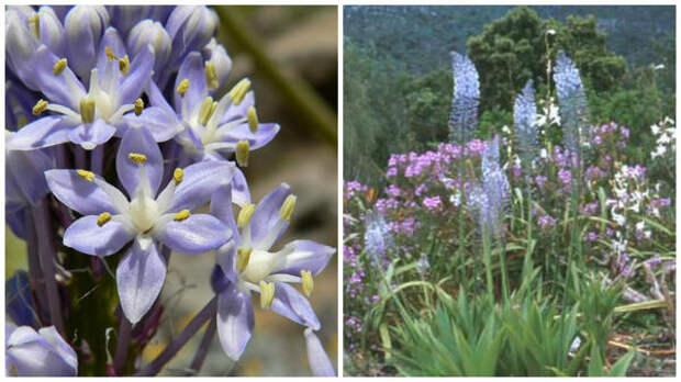 Цветки пролески натальской крупным планом. Фото с сайта Maliba Lodge. Общий вид пролески натальской. Фото с сайта PlantZAfrica.com