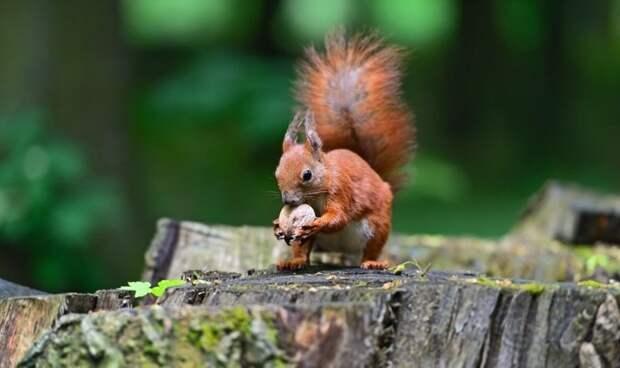 Каким образом белкам удаётся помнить то, где они зарыли свои орехи? белка, животные, интересно, орешки, познавательно, факты