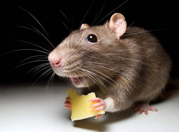 Грызуны-захватчики: массовое нашествие мышей в Австралии вызывает ужас