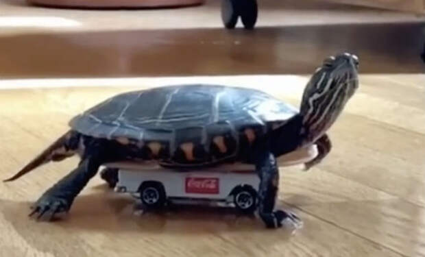 Мужчина научил домашнюю черепаху бегать быстрее кошки: подложил под панцирь колеса