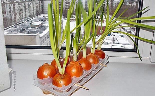 Зеленый лук на перо: прорастили за неделю в яичной упаковке. Земля не требуется