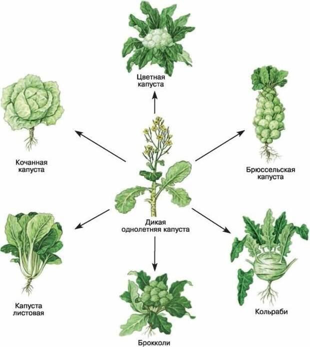 Капуста интересное, овощи, происхождение, факты
