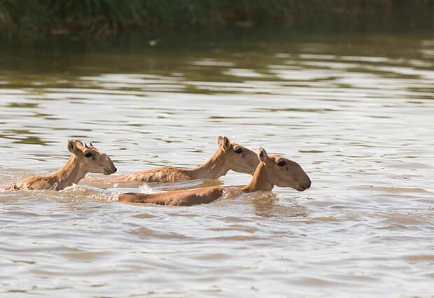 Сайгак. Степная антилопа, пережившая мамонтов