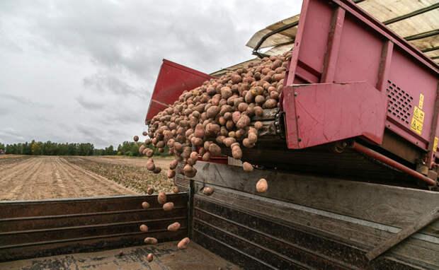Картофель начали сеять крестьяне Новосибирской области