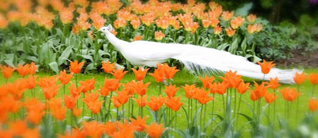 tulips33 Самые яркие тюльпаны со всего света