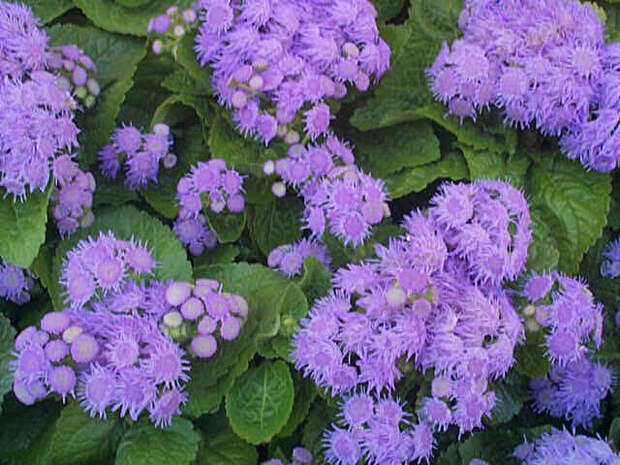 http://www.totalgrowthsolutions.com/images/ProductLibrary/ageratum.jpg