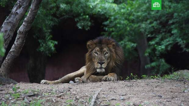 Восемь львов в индийском зоопарке заразились коронавирусом