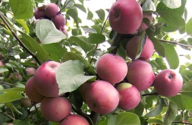 Свои яблоки – на всю зиму