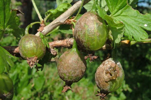 Спасение в 3 действия. Как защитить сад от болезней, вредителей и непогоды