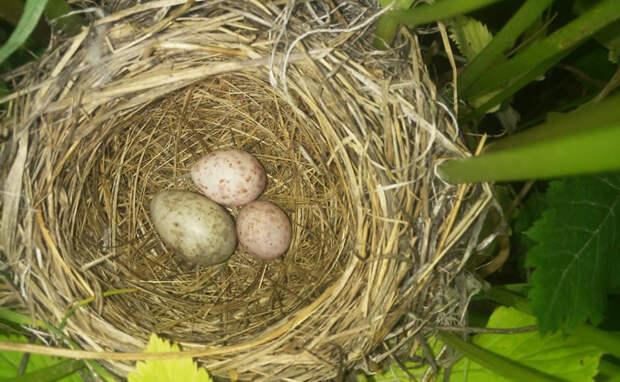 Подлые кукушки разбрасывают яйца по Новосибирску