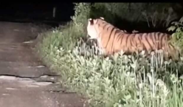 Клубнички захотелось: приморцы обнаружили тигра усебя нагрядках